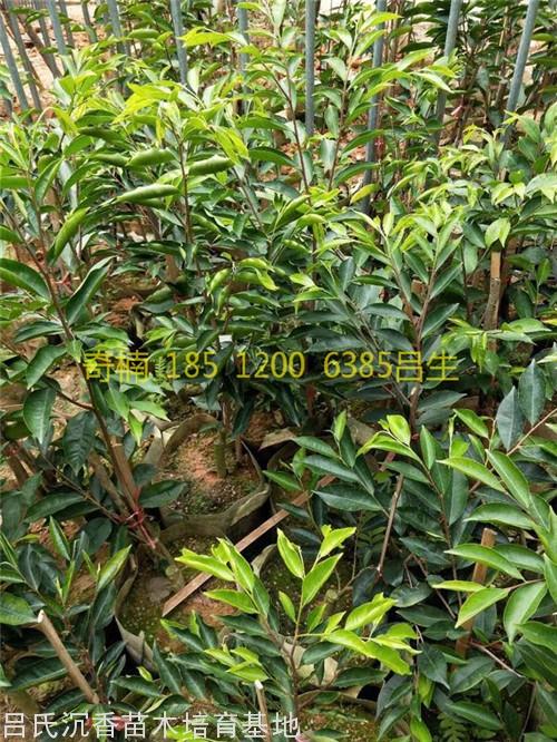 綠奇楠沉香樹