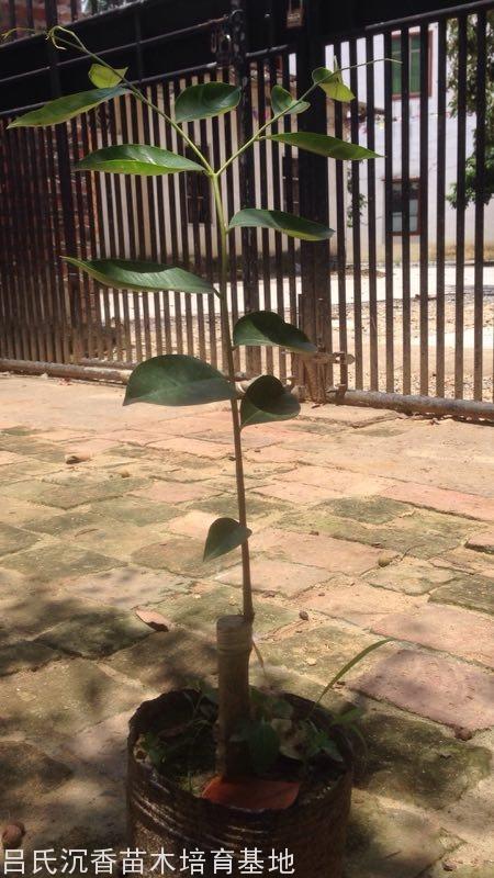 40公分张勺子奇楠树