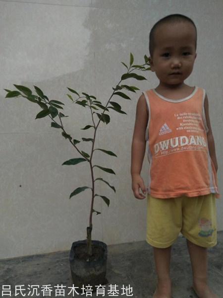 廣州張先生購買100顆奇楠樹