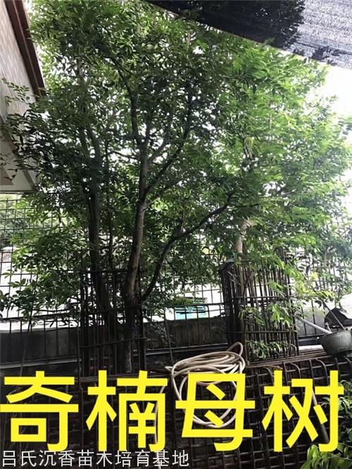 张勺子奇楠母树