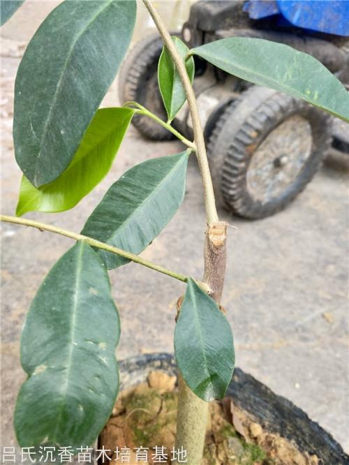 吊油王奇楠树