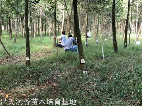 人工改良白木金砖彩票网树