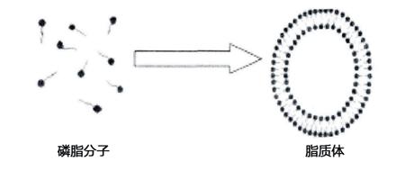 磷脂分子形成脂质体示意图.png