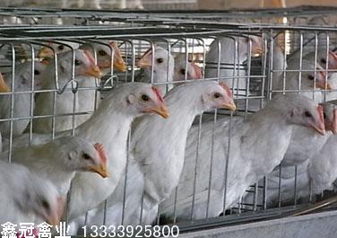 罗曼粉新利18体育鸡