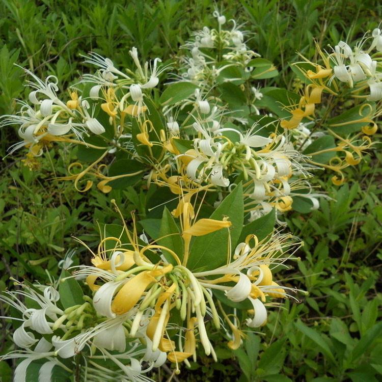金银花苗价格   出售金银花种苗