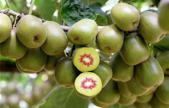 红阳猕猴桃.jpg