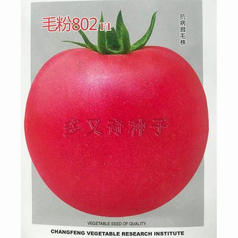 毛粉802番茄种子 西红柿种子 粉红圆形耐疫病病毒病番茄种子